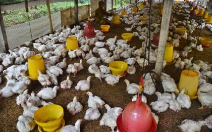 7000 Gambar Ayam Yang Mau Diwarnai  Terbaru