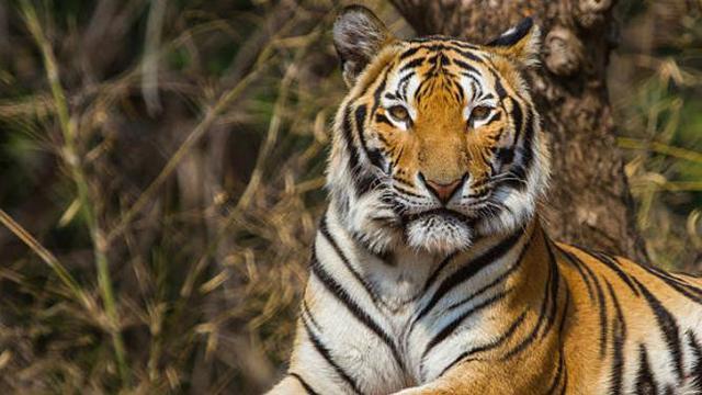 Seekor Harimau di Kebun Binatang AS Positif Terinfeksi Virus Corona