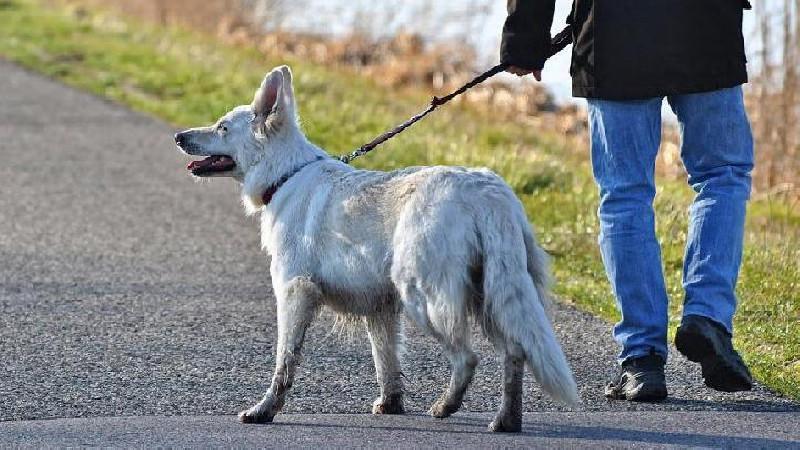 Sejumlah Anjing Dilatih Mendeteksi Virus Corona