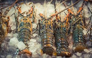 Pengusaha Lobster Dukung Aturan Pemerintah Simeulue Tidak Ekspor Benih Lobster