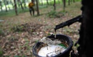 Petani di Aceh Tamiang Keluhkan Harga Karet Menurun