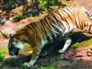Peneliti Yakini Harimau Jawa Masih Ada