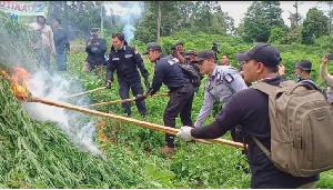 Ganja 10 Hektare Siap Panen di Aceh Besar Dimusnahkan