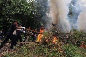BNNP Aceh Grebek 3,5 Hektar Ladang Ganja di Aceh Besar
