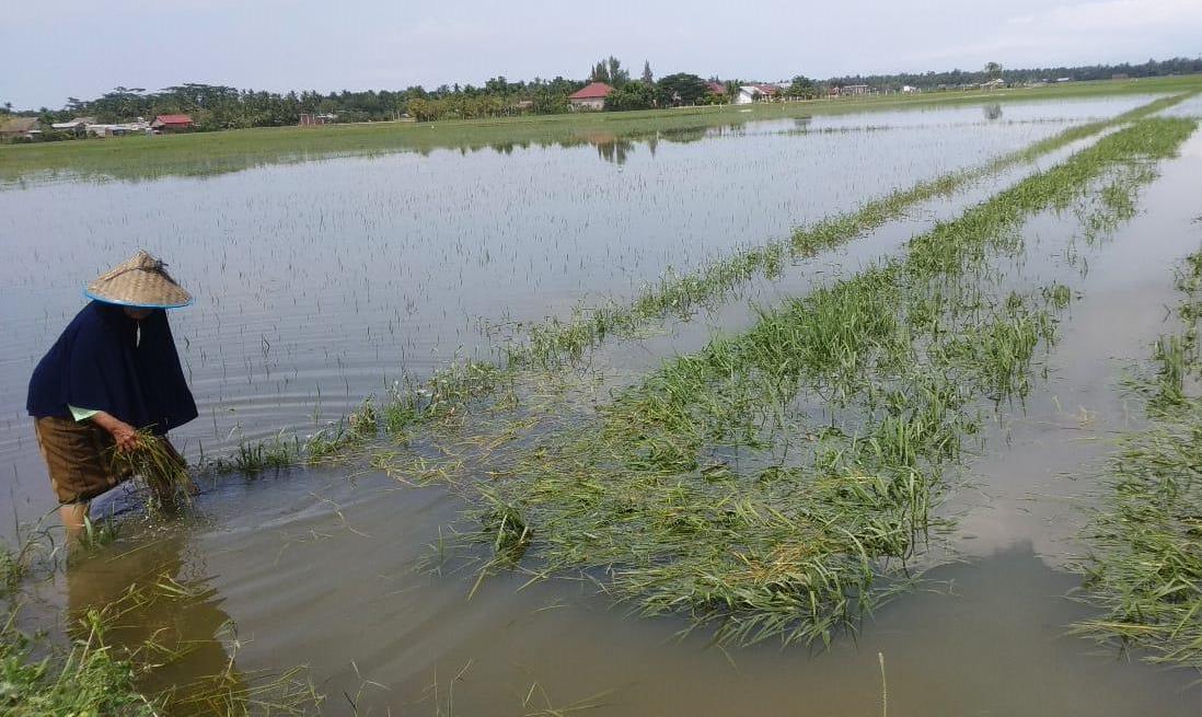 Sawah Terendam Banjir dan Gagal Panen? Begini Cara Klaim Asuransinya