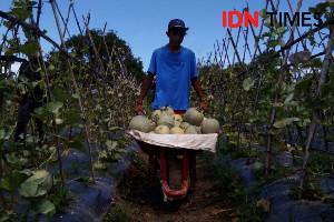 Masa Pandemi Corona, Seorang Kontraktor di Aceh Beralih Jadi  Pebisnis Melon