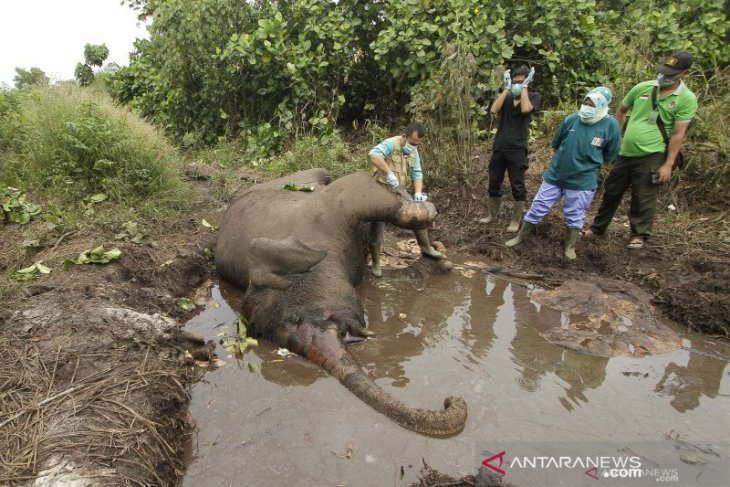 Lagi, Seekor Gajah Sumatera mati di CRU Aceh Utara