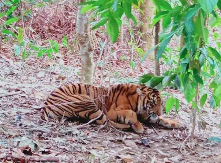 Harimau Terkena Jerat di Aceh Tenggara, Begini Kondisinya Kini