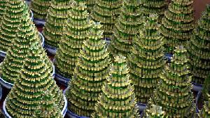 Tahun Kerbau Logam, Tanaman Bambu Diminati, Simak