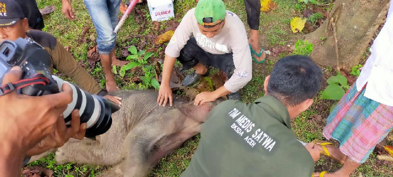 Bayi Gajah yang Terjebak di Kubangan Lumpur Masih dalam Perawatan