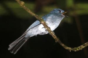Burung Niu Sangihe Yang Terancam Punah Karena Ekplorasi Oleh PT TMS