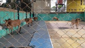 Idul Adha, Kemenag Aceh Sembelih 6 Ekor Hewan Kurban