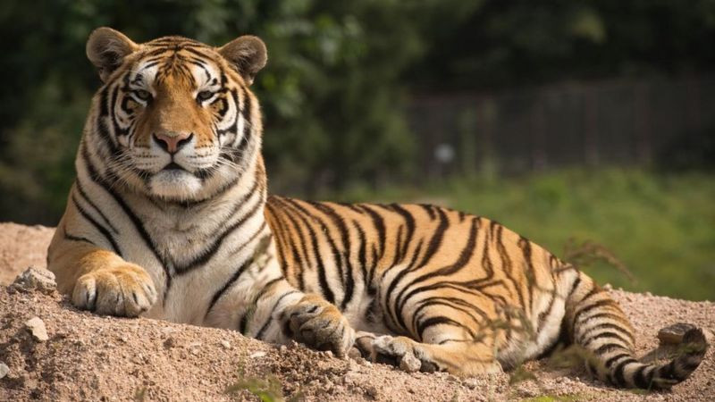2 Harimau Taman Margasatwa Ragunan Positif Covid-19, Langsung Ditracing