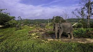 Populasi Gajah di Indonesia Semakin Sedikit, Karena Aktifitas Tambang