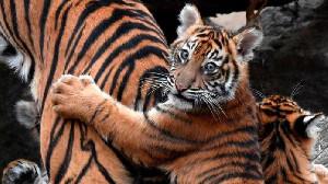 Induk dan Anak Harimau Ditemukan Mati di Aceh Selatan