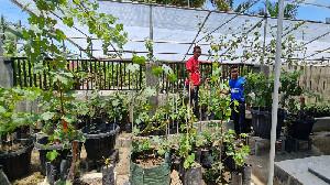 Jamaluddin, Pemuda Alue Sijuk Peudada  Kian Sukses Budidaya Bibit Anggur Import