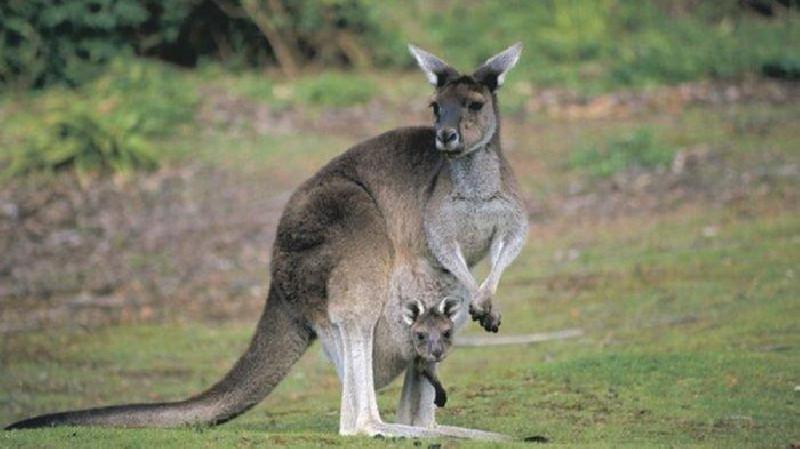 Dua Remaja Australia Didakwa Membunuh 14 Kanguru